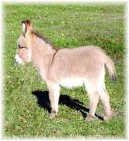 Miniature Donkey My World Apache (8290  bytes)