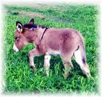 Miniature Donkey My World Chloe (8704  bytes)