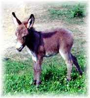 Miniature Donkey My World Chloe (7145  bytes)
