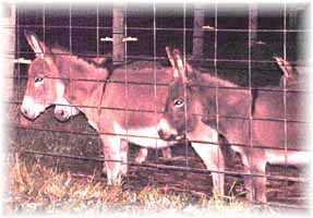 Miniature Donkey My World Danielle & My World Mia (10,348  bytes)