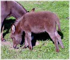 Miniature Donkey My World Harley (9531 bytes)