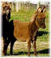 Miniature Donkey My World Harley (7202 bytes)