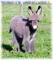 Miniature Donkey My World Jazmin (6697 bytes)