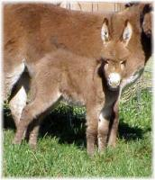 Miniature Donkey My World Kelly's Un-nammed Sorrel jennet foal (9088 bytes)