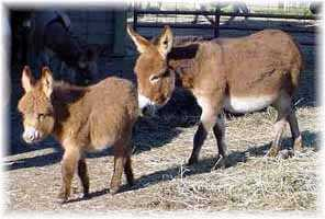 Miniature Donkey My World Kelly & jennet foal, My World Lexus (11,214  bytes)
