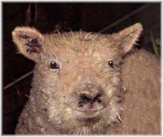 Olde English 'Babydoll' Sheep LambChop (9349 bytes)