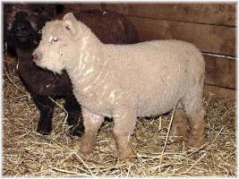 Olde English 'Babydoll' Sheep LambChop & Groucho (14,309 bytes)