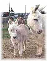Miniature Donkey My World Lit'l Rascal (5235  bytes)