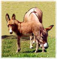 Miniature Donkey My World Gambler (7054 bytes)
