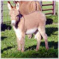 Miniature Donkey My World Gambler (7486 bytes)