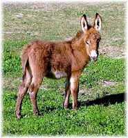 Miniature Donkey My World Paulie (8999 bytes)