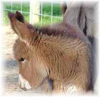 Miniature Donkey My World Mercedes (6967  bytes)