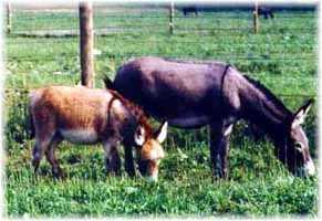 Miniature Donkeys My World Millisa & My World Wiggles (11,718 bytes)
