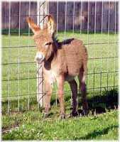 Miniature Donkey My World Miss Kitty (7009 bytes)
