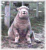 Olde English 'Babydoll' Sheep' Noah James (7983  bytes)