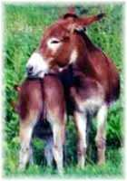 Miniature Donkey My World Red Hawk & mom, My World Red Dream (5193 bytes)