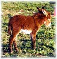 Miniature Donkey My World Scarlet O'Hara (8742 bytes)
