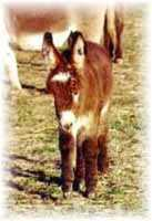 Miniature Donkey My World Scarlet O'Hara (5358 bytes)