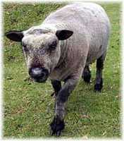Olde English 'Babydoll' Sheep' Vadar (6784  bytes)