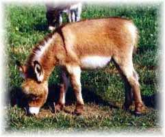 Miniature Donkey My World Wiggles (9336 bytes)