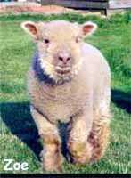 Zoe, Olde English 'Babydoll' Sheep (5723  bytes)