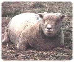 Olde English 'Babydoll' Sheep' Zoe (8257  bytes)