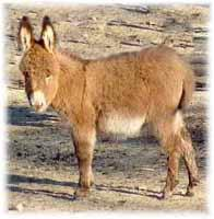 Miniature Donkey My World Mercedes (9020  bytes)