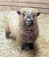 Olde English 'Babydoll' Sheep (7655  bytes)
